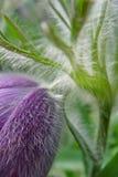Fleur de Pasque Image stock