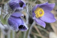 Fleur de Pasque Photographie stock libre de droits