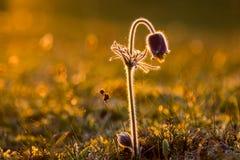 Fleur de pasque vulgaris de Pulsatilla images stock