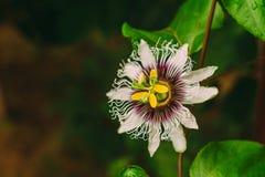 Fleur de passiflore comestible de passiflore photo stock