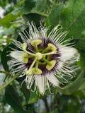 Fleur de passiflore comestible de passiflore photographie stock libre de droits