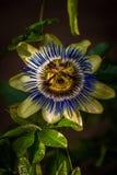 Fleur de passion à la lumière du soleil tachetée image libre de droits