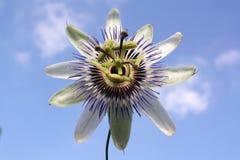 Fleur de passion Photos libres de droits