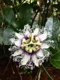 Fleur de passion photographie stock libre de droits