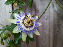 Fleur de passion Photos stock