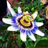 Fleur de passion photo stock
