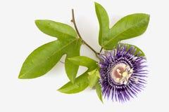 Fleur de passion, alato-caerulea Lindl de la Jamaïque Honeysuckle Passiflora X Fleurs sur le fond blanc Image stock