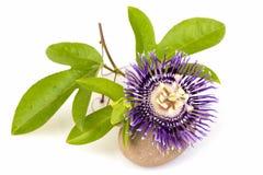 Fleur de passion, alato-caerulea Lindl de la Jamaïque Honeysuckle Passiflora X Fleurs sur le fond blanc Photos libres de droits