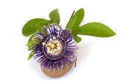 Fleur de passion, alato-caerulea Lindl de la Jamaïque Honeysuckle Passiflora X Fleurs sur le fond blanc Photos stock