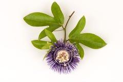 Fleur de passion, alato-caerulea Lindl de la Jamaïque Honeysuckle Passiflora X Fleurs sur le fond blanc Images libres de droits