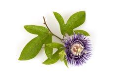 Fleur de passion, alato-caerulea Lindl de la Jamaïque Honeysuckle Passiflora X Fleurs sur le fond blanc Images stock