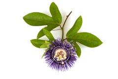 Fleur de passion, alato-caerulea Lindl de la Jamaïque Honeysuckle Passiflora X Fleurs sur le fond blanc Photo libre de droits