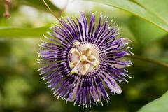 Fleur de passion, alato-caerulea Lindl de la Jamaïque Honeysuckle Passiflora X Fleurs sur le fond naturel Photos libres de droits