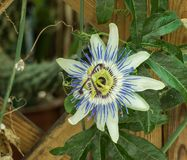 Fleur de passion de caerulea de passiflore avec la lumière du jour photo libre de droits