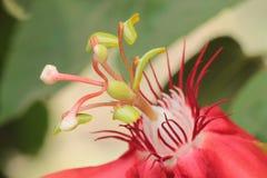 Fleur de passion de passiflore Photo libre de droits