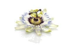 Fleur de passion (passiflore) Image libre de droits