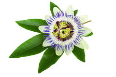 Fleur de passion (passiflore) Photographie stock
