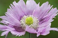 Fleur de pavot à opium Photographie stock