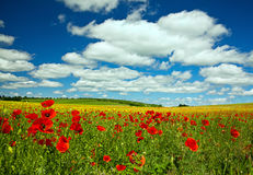 Fleur de pavot Images libres de droits