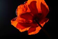 Fleur de pavot Image stock
