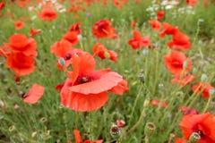 Fleur de pavot Photographie stock