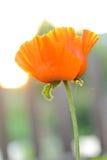 Fleur de pavot au soleil Image stock