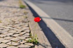 Fleur de pavot avec la route photos stock