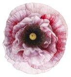 Fleur de pavot d'isolement photographie stock