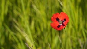 Fleur de pavot dans le vent Photographie stock libre de droits