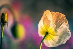 Fleur de pavot dans une fin de jardin au printemps photos stock