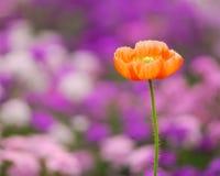 Fleur de pavot de maïs Image libre de droits
