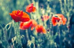Fleur de pavot de maïs images libres de droits