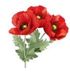 Fleur de pavot de trois rouges avec les feuilles vertes Photographie stock libre de droits