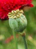 Fleur de pavot à opium Photos stock