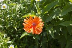 Fleur de pavot sur le champ Images stock
