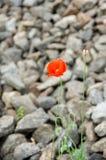 Fleur de pavot sur le fond d'un remblai en pierre Images stock