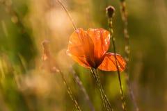 Fleur de pavot sur le pr? photographie stock libre de droits