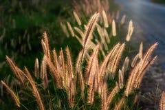 Fleur de Pennisetum Photos libres de droits