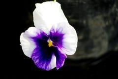 Fleur de pensée Photographie stock