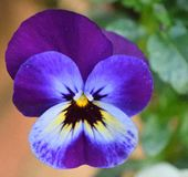Fleur de pensée en fleur photo stock