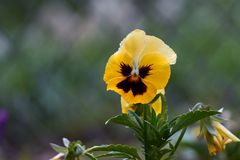 Fleur de pensées dans le village Photographie stock libre de droits