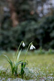 Fleur de perce-neige Images libres de droits