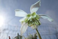 Fleur de perce-neige avec beaucoup de pétales Photographie stock