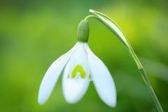 Fleur de perce-neige de ressort Photographie stock