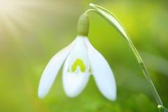 Fleur de perce-neige de ressort Images stock