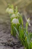Fleur de perce-neige en nature Images stock