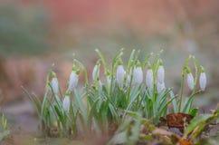 Fleur de perce-neige en nature Photos libres de droits