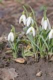 Fleur de perce-neige en nature Image libre de droits