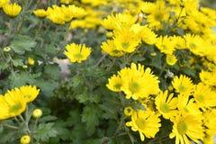 Fleur de Perennis de Bellis connue sous le nom de marguerite commune Photographie stock