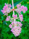 Fleur de perle d'Andaman Photographie stock